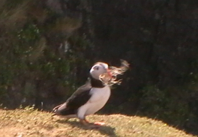 Puffin with straw